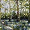 Bluebells and Celandines by Mark Eldred for Kilbaha Gallery