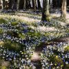 Bluebells Ross Island Killarney by Mark Eldred for Kilbaha Gallery